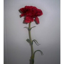 CLAVEL ARTIFICIAL ROJO **ARTIFICIAL**