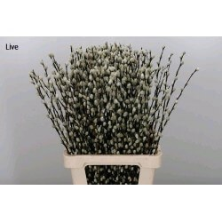 SALIX PUSSY NATURAL 90 CM