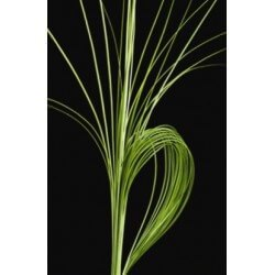 SANTOS-STEEL GRAS 120 CM