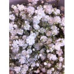 VAL-PANICULATA EXLENCE ECU 750 GR ( flor gorda)