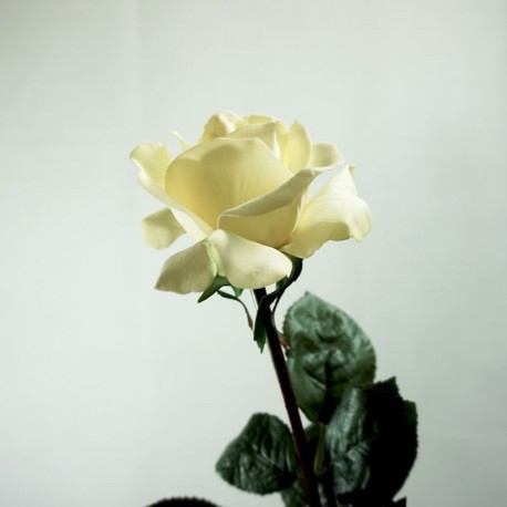 ROSA CAROLINE BLANCA