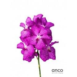 SANTOS-ORQUIDEA VANDA FUCSIA CAJA 16 flores