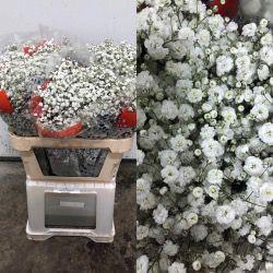 PANICULATA EXLENCE ECU 750 GR ( flor gorda)