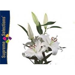 LILIUM ORIENTAL BLANCO SANTANDER [4/7 FL] HOL