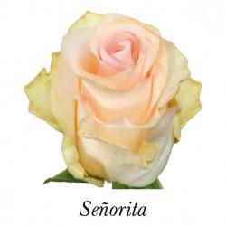 SANTOS-ROSA ECU ROSA CL SEÑORITA 50 CM X25