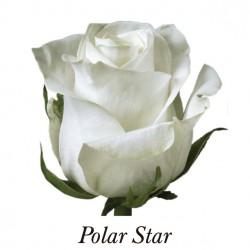 ROSA ECU BLANCA POLO STAR 40 CM X20