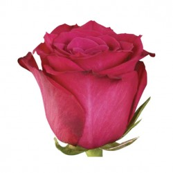 ROSA ECU FUCSIA QUEENBERRY 40 CM X20
