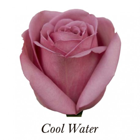 ROSA ECU MORADA COOL WATER 40 CM X20