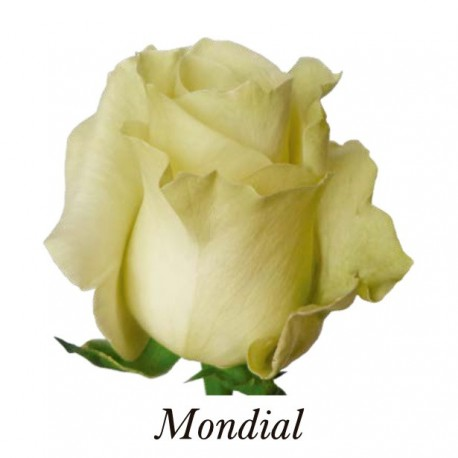 ROSA ECU MONDIAL BLANCA 50 CM X20