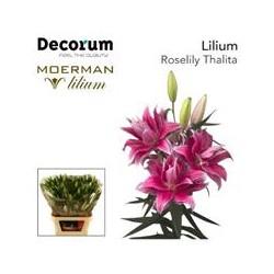 LILIUM ORIENTAL DOBLE ROSELILY TALHITA 90 CM [4/7 FL]