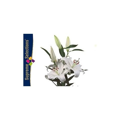 SANTOS-LILIUM ORIENTAL BLANCO FOREVER [3/4 FL]