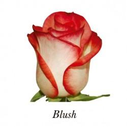 ROSA ECU BLUSH BICOLOR 40 CM X20